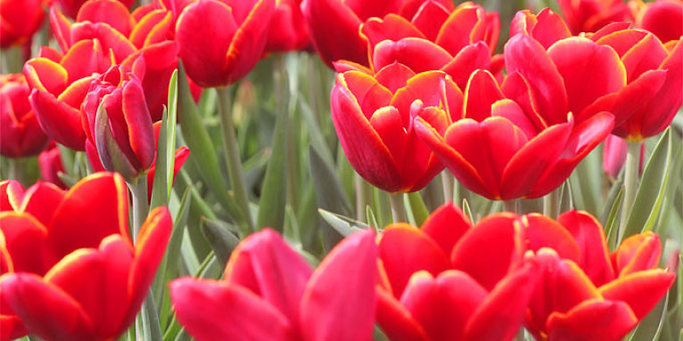 Rote Tulpen - Foto: Helge May