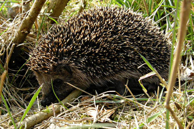 Igel - Foto: Thomas Behrends