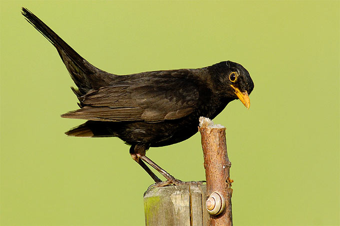 Amsel - Foto: NABU/Tom Dove